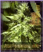Spliff Seeds Fast Bud Outdoor Feminized Marijuana Strain